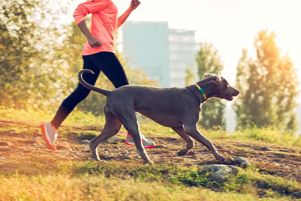 A dog wearing a fitness collar running with her owner.